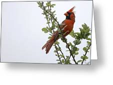 Northern Cardinal Portrait Greeting Card