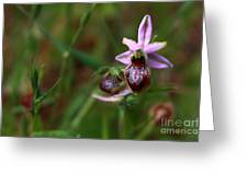 Ophrys -wild Orchid Greeting Card
