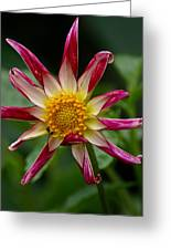 Peppermint Sunburst Greeting Card