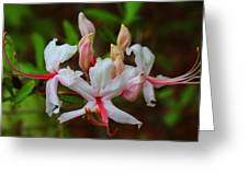 Piedmont Azalea Greeting Card