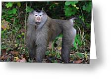 Pig-tailed Macaque Greeting Card