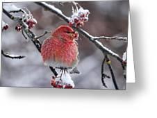 Pine Grosbeak Greeting Card