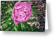 Pink Peony Print Greeting Card