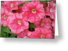 Pink Petunias Greeting Card