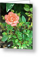 Pink Rose In The Garden Greeting Card