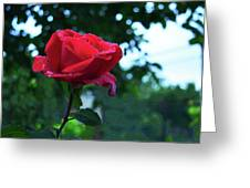 Pink Rose With Dew Drops Greeting Card
