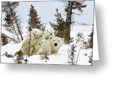 Polar Bear Ursus Maritimus Trio Greeting Card by Matthias Breiter