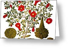Pomegranate, 1613 Greeting Card