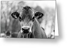Portrait Of A Dairy Cow In The Rain Stowe Vermont Greeting Card