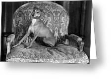 Portrait Of An Italian Greyhound In Black And White Greeting Card