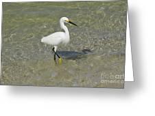 Posing White Egret Bird Greeting Card
