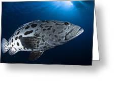 Potato Grouper, Australia Greeting Card
