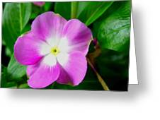 Purple Periwinkle Flower 1 Greeting Card