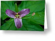 Purple Trillium Greeting Card