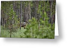 Rare And Wild. Finnish Forest Reindeer Greeting Card