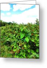 Raspberry Fields 2  Greeting Card