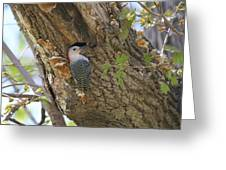 Red Bellied Wood Pecker Greeting Card