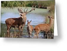 Red Deer In Bushy Park London Greeting Card