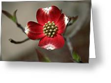 Red Dogwood Greeting Card