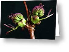 Red Elderberry Flower Buds Greeting Card