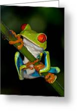 Red-eyed Green Tree Frog Hanging On Greeting Card