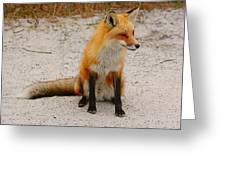 Red Fox 3 Greeting Card