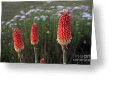 Red Hot Pokers Greeting Card