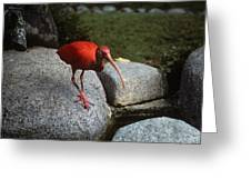 Red Ibis Greeting Card