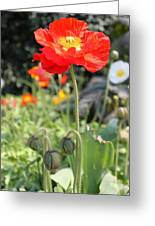 Red Iceland Poppy Greeting Card