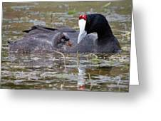 Red Knobbed Coot Greeting Card