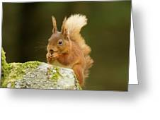 Red Squirrel Greeting Card