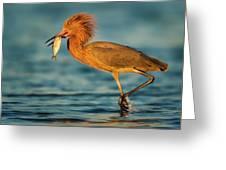 Reddish Egret With Fish Greeting Card