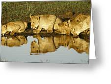Reflected Lions Greeting Card