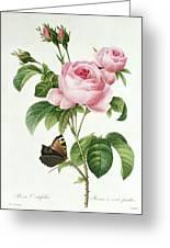 Rosa Centifolia Greeting Card by Pierre Joseph Redoute