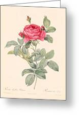 Rosa Gallica Pontiana Greeting Card