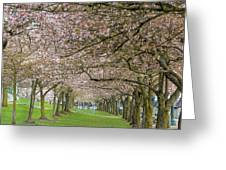 Rows Of Cherry Blossom Trees In Spring Greeting Card