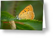 Scarce Copper Greeting Card