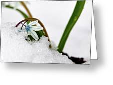 Scilla On Snow Greeting Card