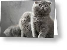 Scottish Fold Cats Greeting Card by Evgeniy Lankin