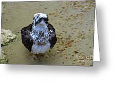 Sea Hawk Standing In Shallow Water Greeting Card