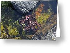 Seaweed Growing In A Rockpool On The Shore Roundstone County Galway Ireland Greeting Card