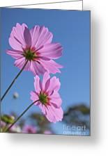 Sensation Cosmos Bipinnatus Pink Cosmos Standing Up Towerd Sky Greeting Card