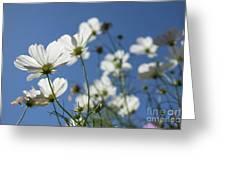 Sensation Cosmos Bipinnatus White Cosmos Standing Up Towerd Sk Greeting Card
