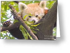 Shy Red Panda Greeting Card