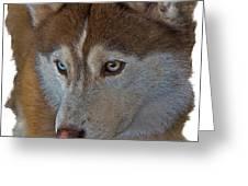 Siberian Husky Greeting Card by Larry Linton
