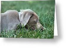 Silver Labrador Retriever Puppy  Greeting Card