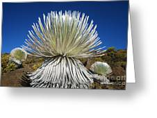 Silversword Plant Greeting Card