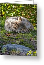 Sleeping Timber Wolf Greeting Card