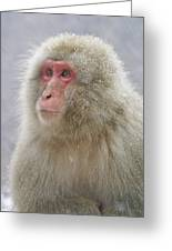 Snow-dusted Monkey Greeting Card