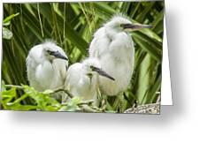 Snowy Egret Chicks Greeting Card